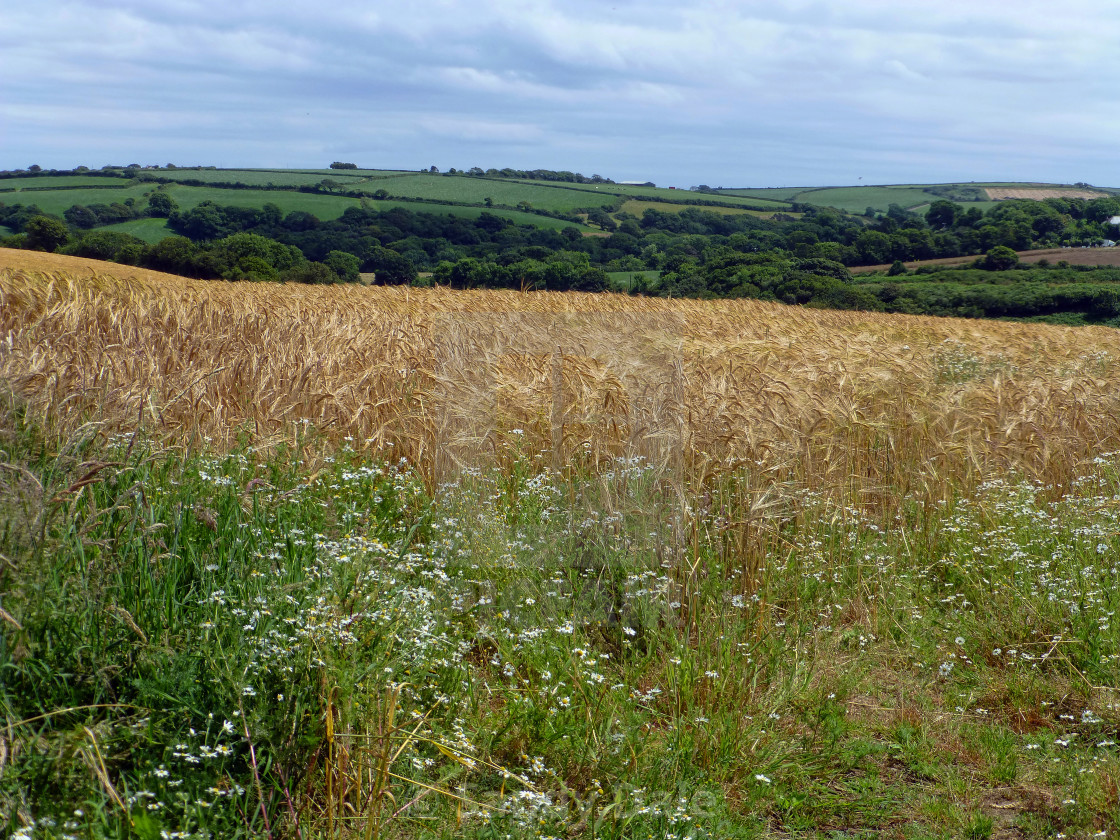 """Helford Wheat Field"" stock image"