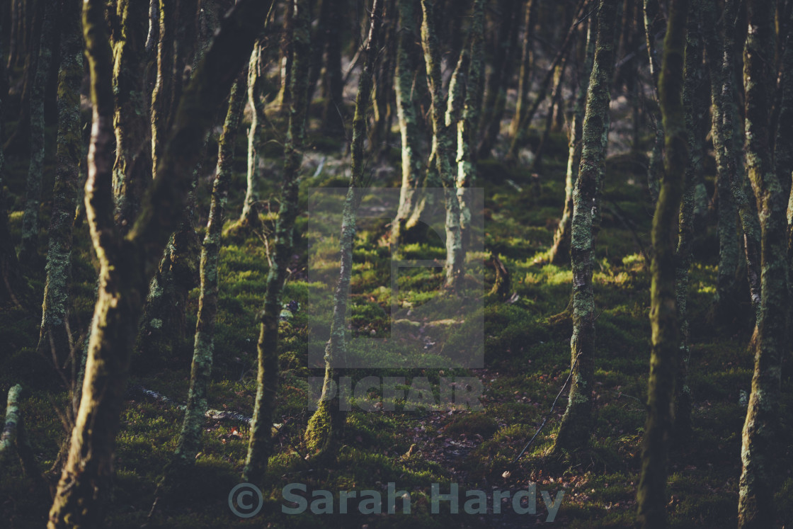 """Wicklow forest"" stock image"