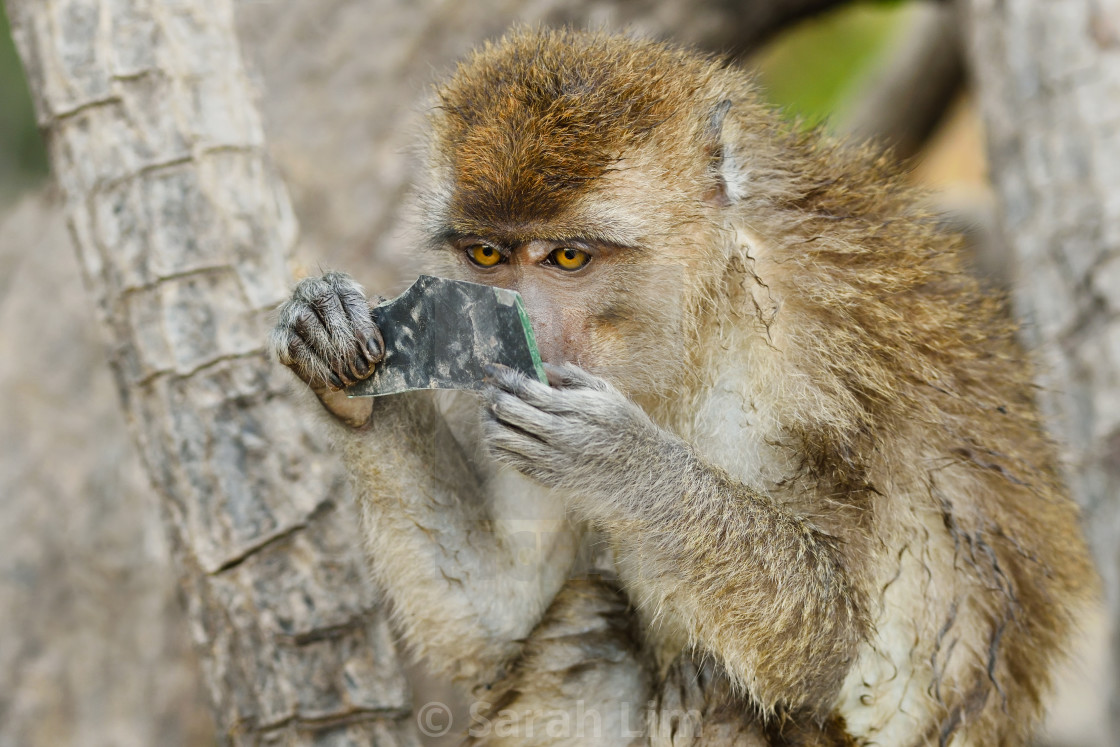 """Curious Macaque"" stock image"