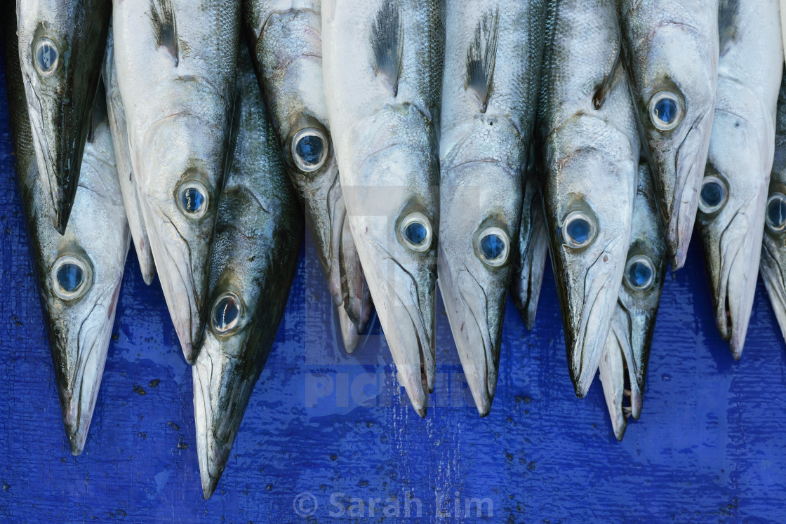 """Barracuda"" stock image"