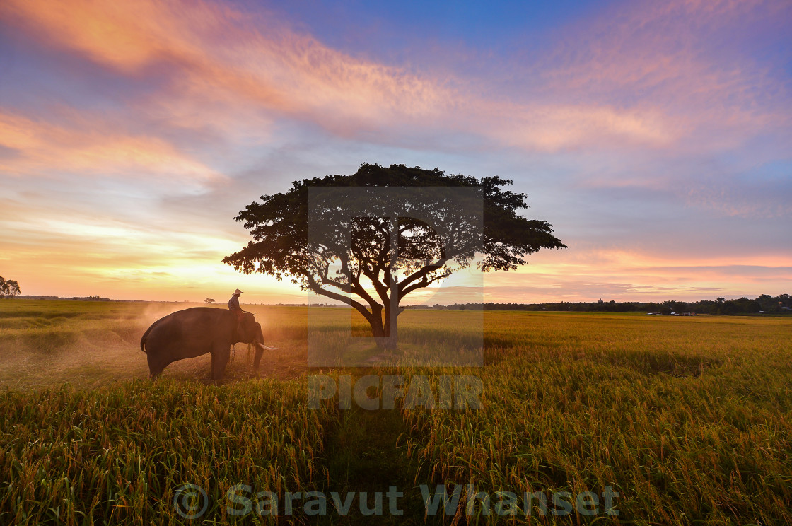 """Elephant and Man hometown in the field on during sunrise ,Surin Thailand"" stock image"