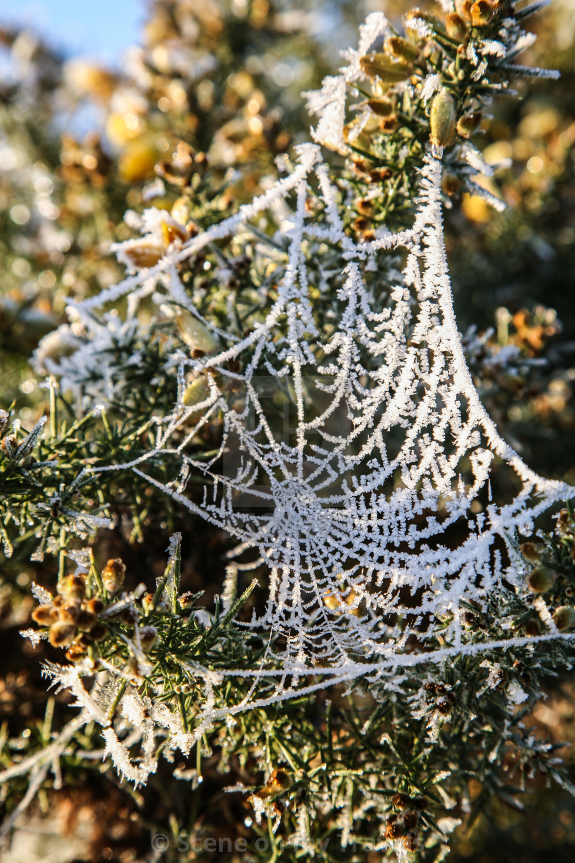 """Frosted Spiders Web"" stock image"