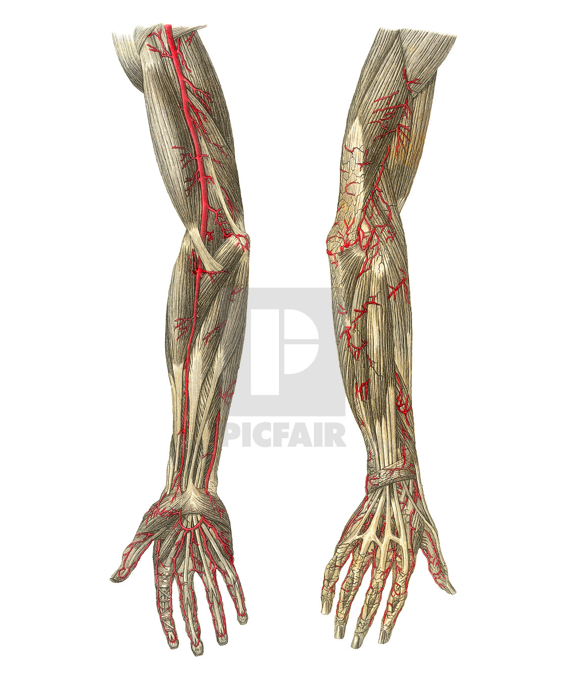 Blood Vessels Of The Arms Artwork License Download Or Print For