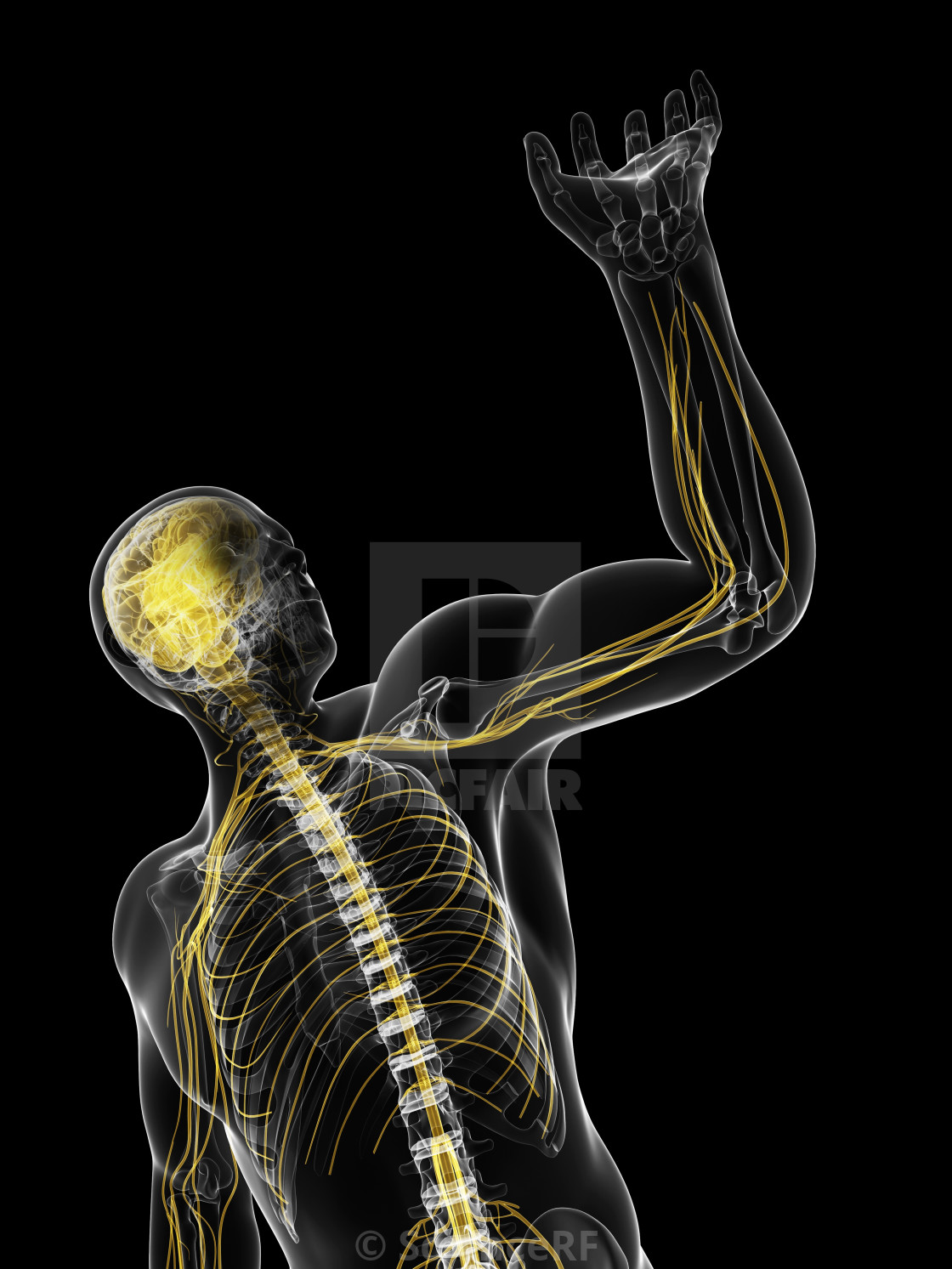 """Central nervous system, artwork"" stock image"