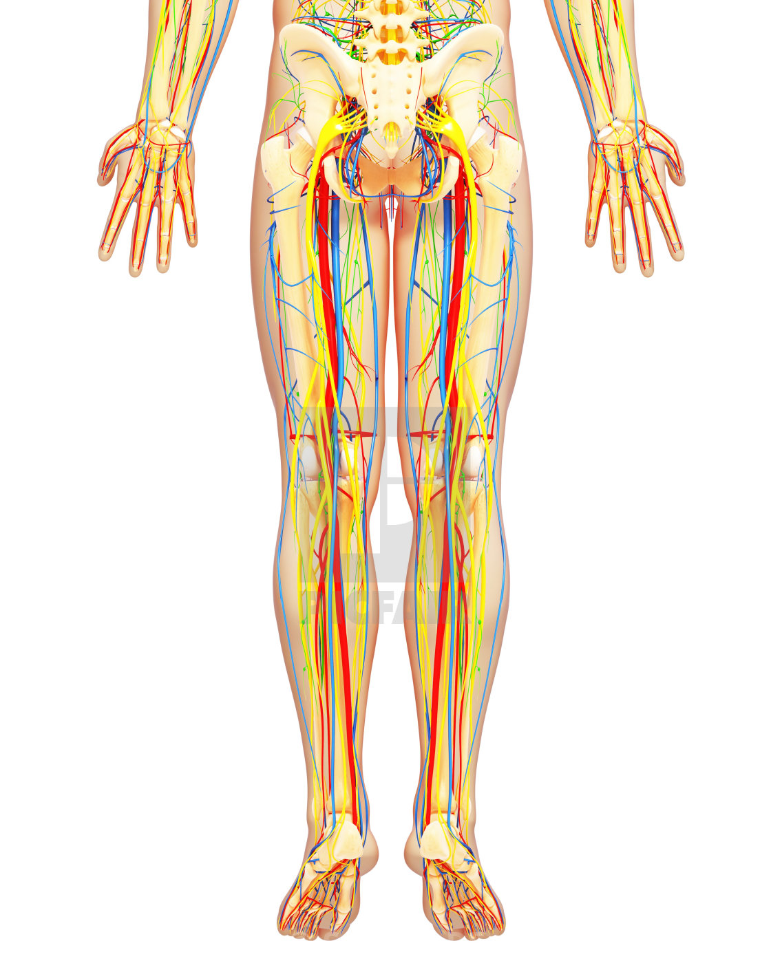 Lower Body Anatomy Artwork License Download Or Print For 3900