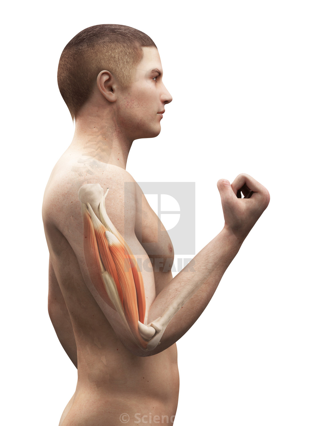 """Biceps muscle, artwork"" stock image"