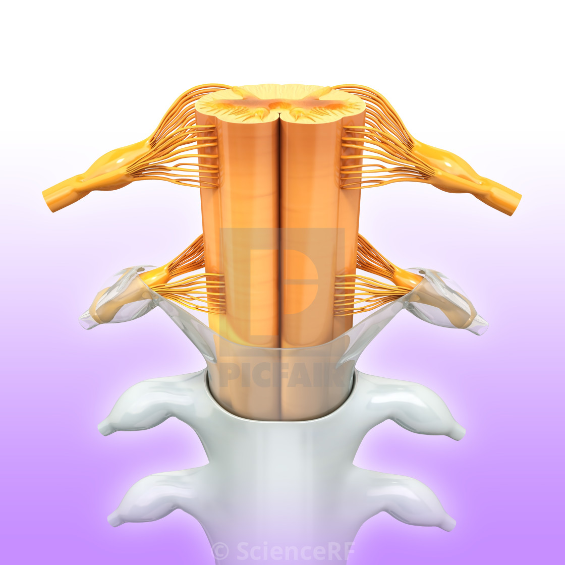 """Human spinal chord, artwork"" stock image"
