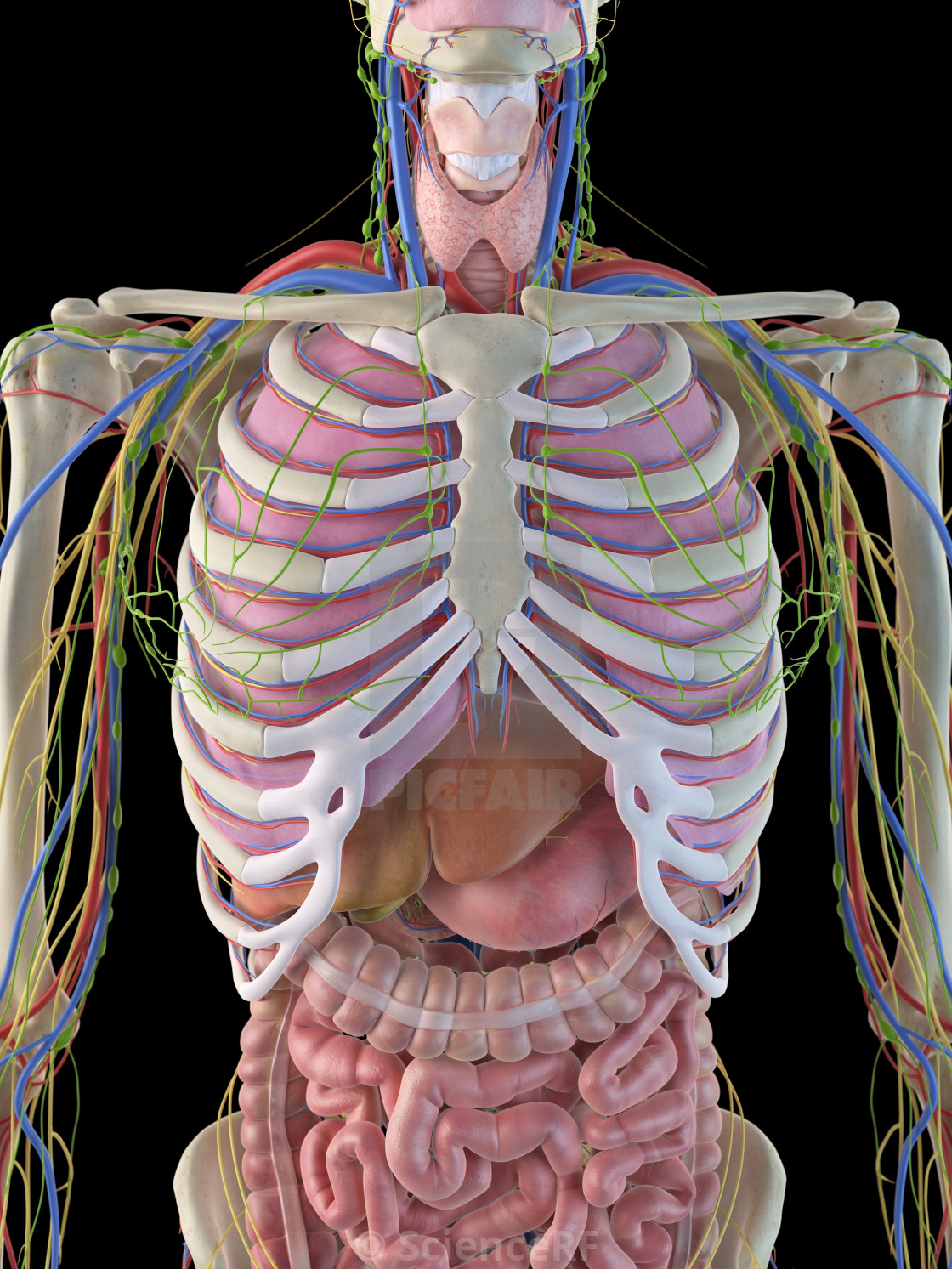 Human ribcage and organs, artwork - License for £39.00 on Picfair