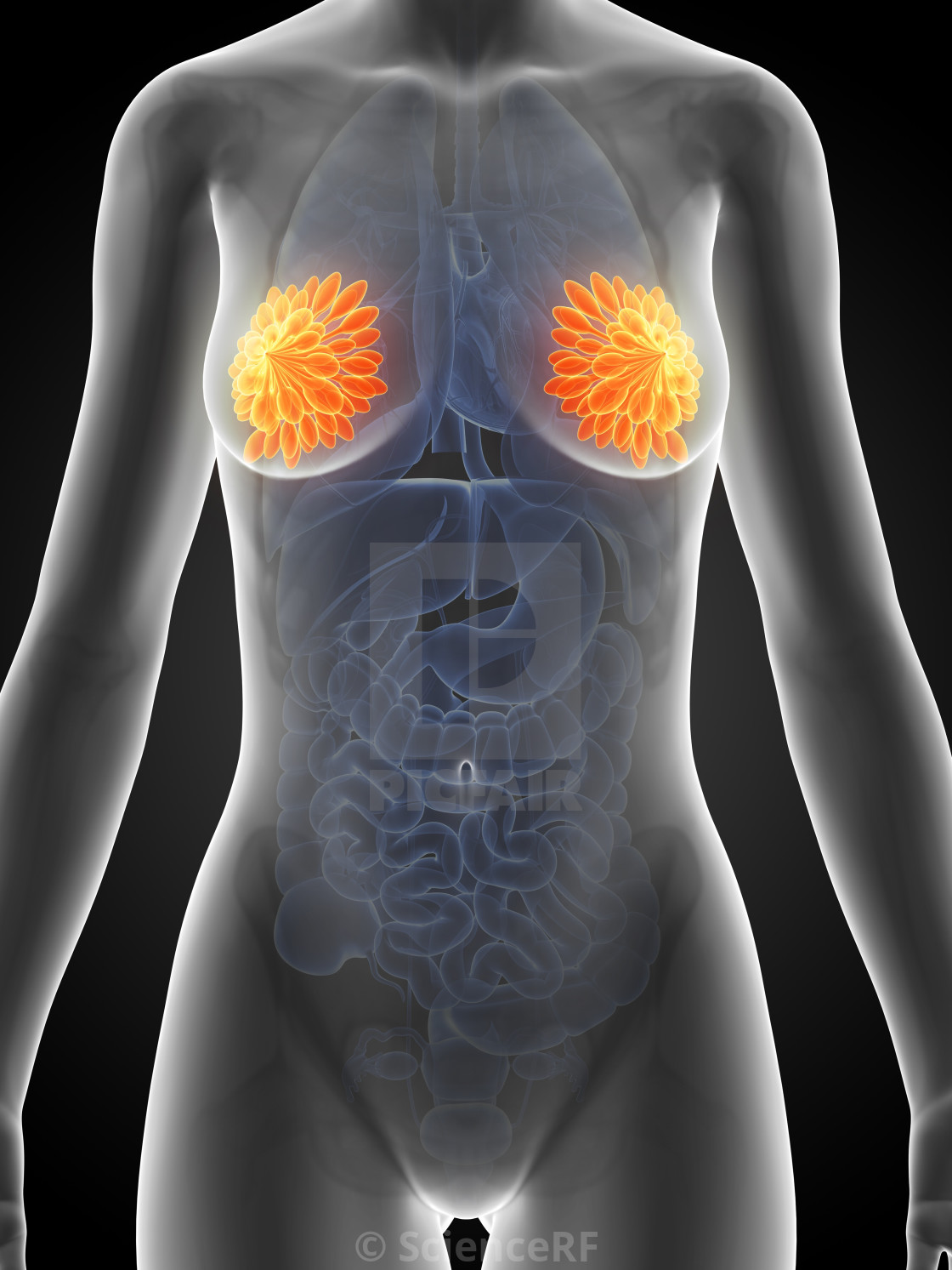 """Female mammary glands, artwork"" stock image"