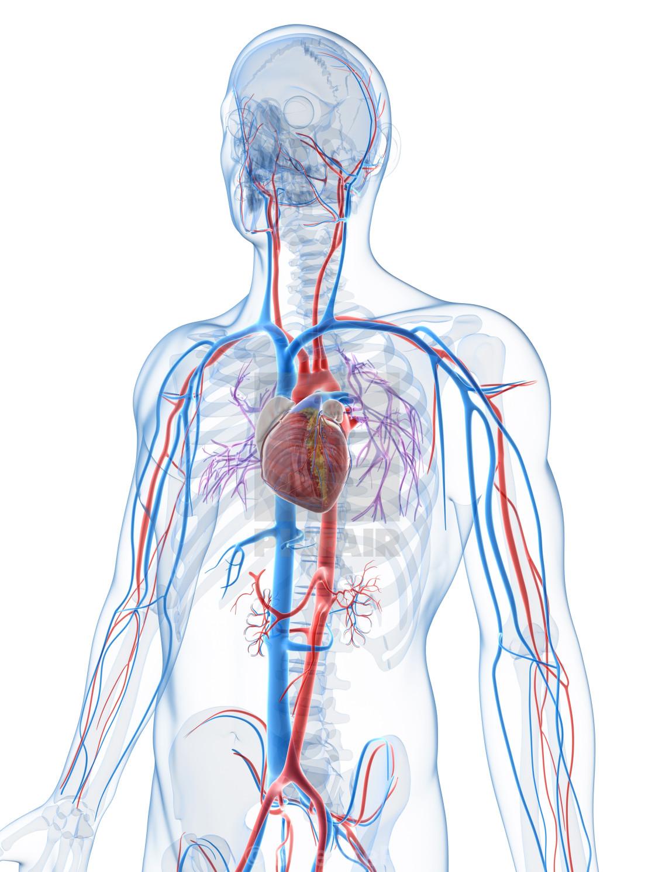 Human Vascular System Artwork License For 3900 On Picfair