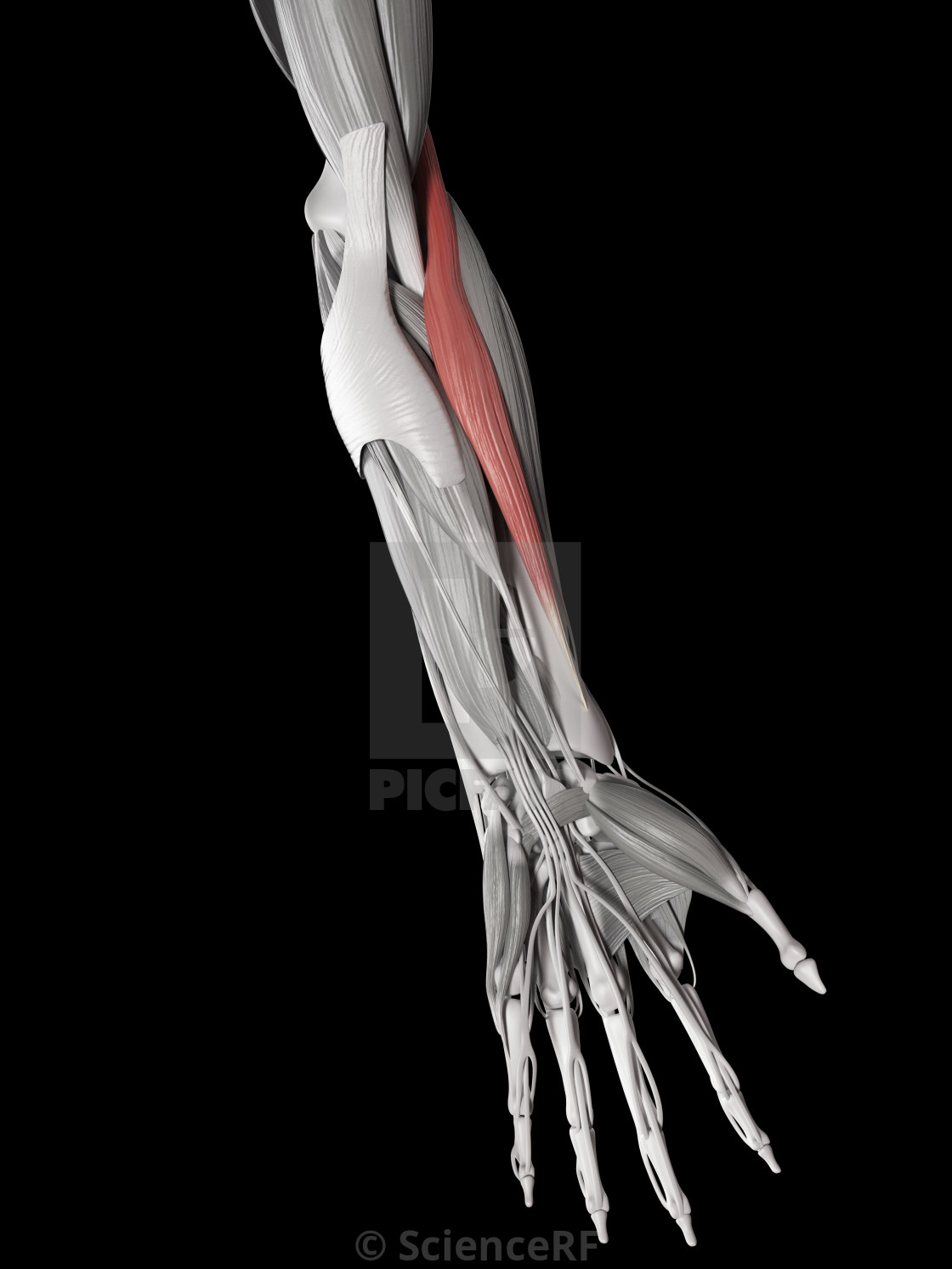 """""""Human muscle of arm, illustration"""" stock image"""