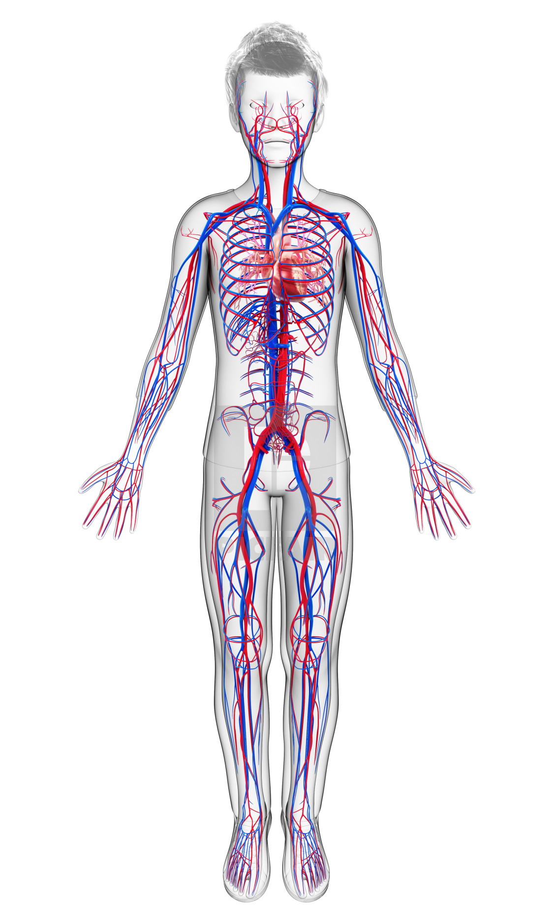 Human Cardiovascular System Illustration License For 3900 On