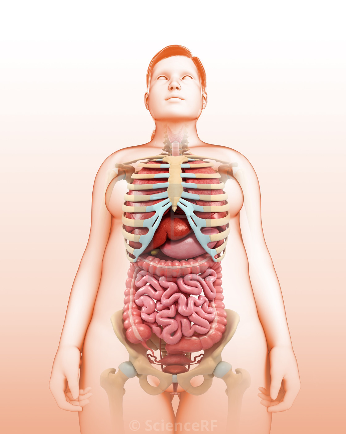 Human Internal Organs Illustration License Download Or Print For