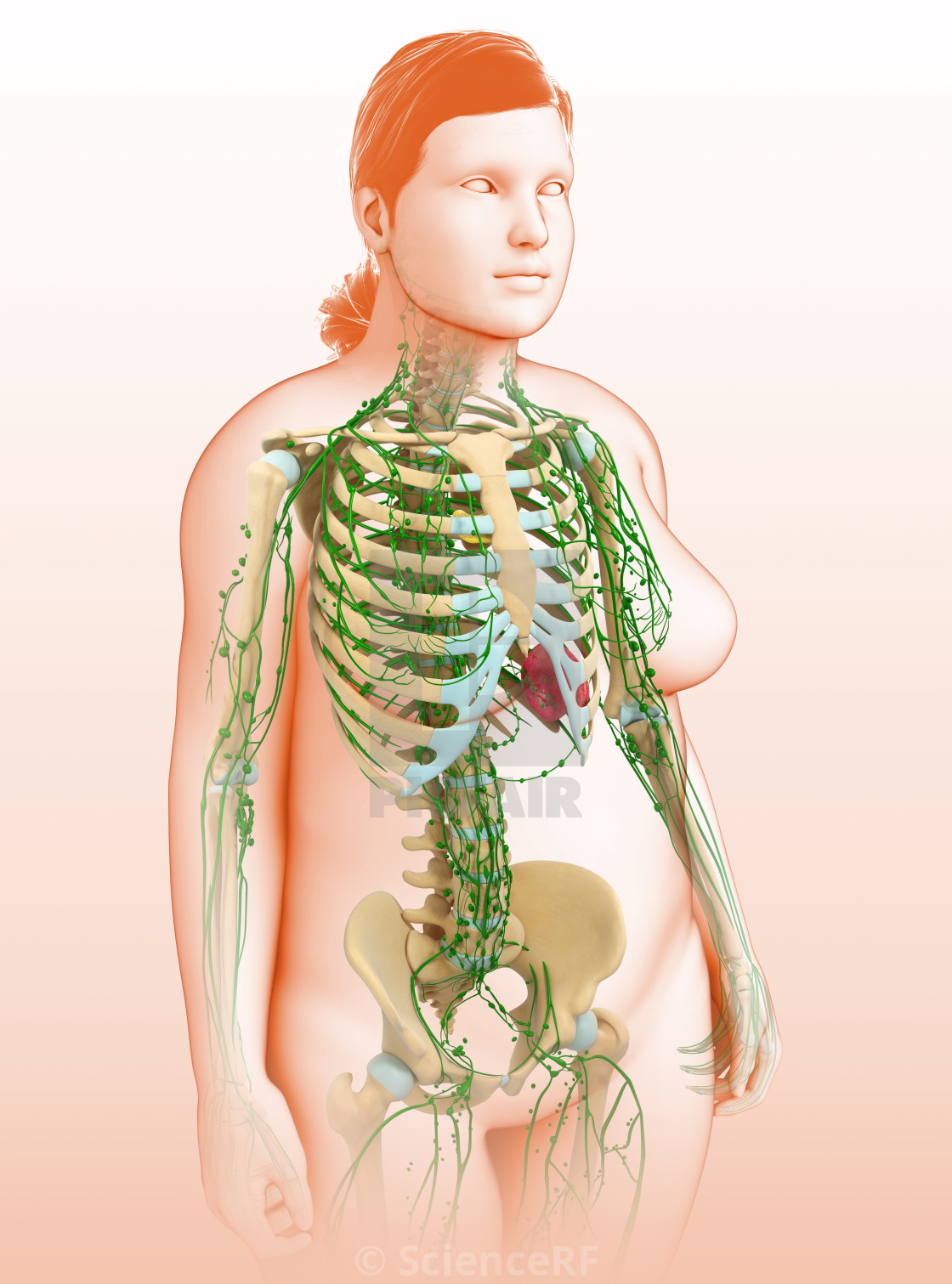 Human Lymphatic System Illustration License For 3900 On Picfair