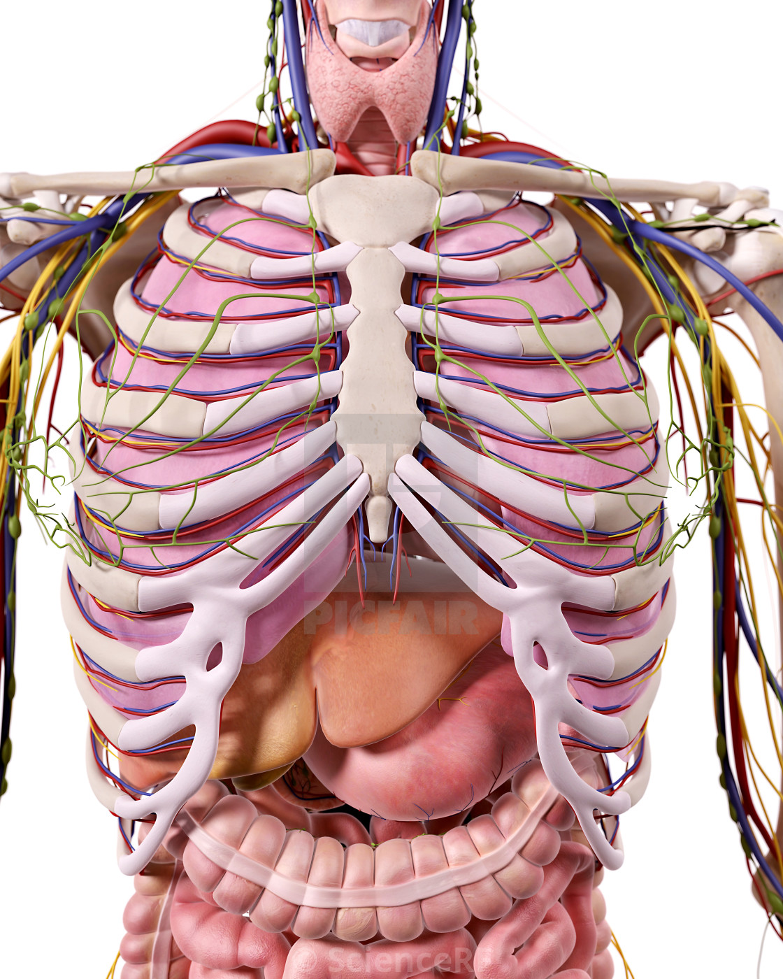 Human Thoracic Anatomy License Download Or Print For 3900