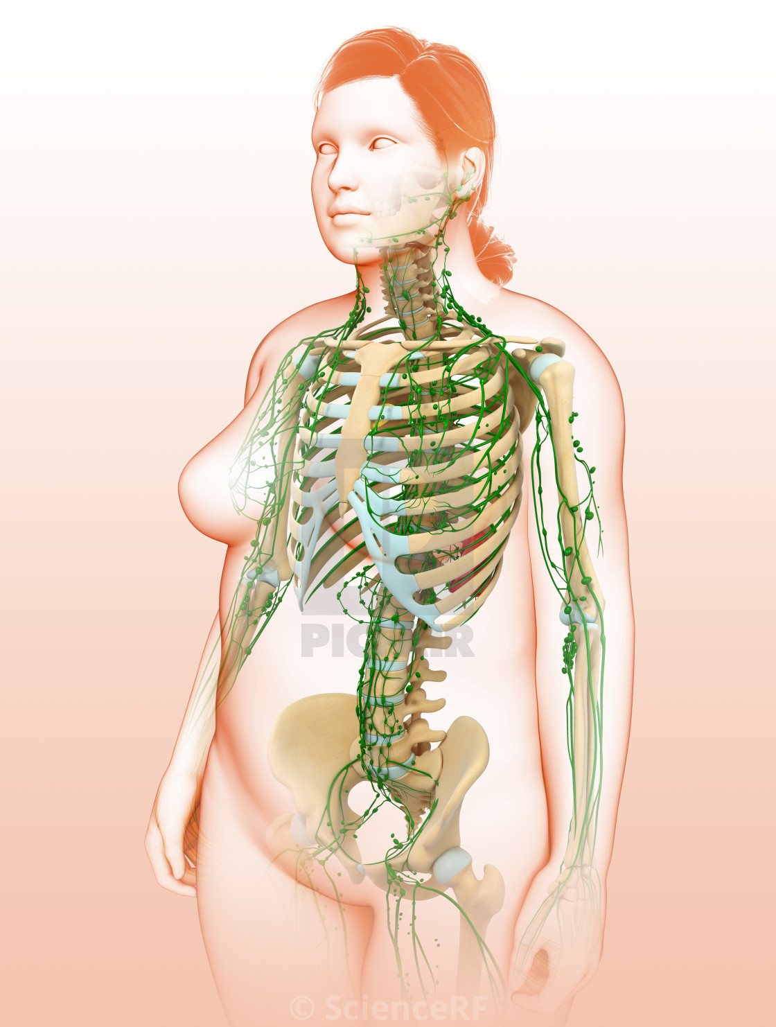Female Lymphatic System Illustration License For 3900 On Picfair