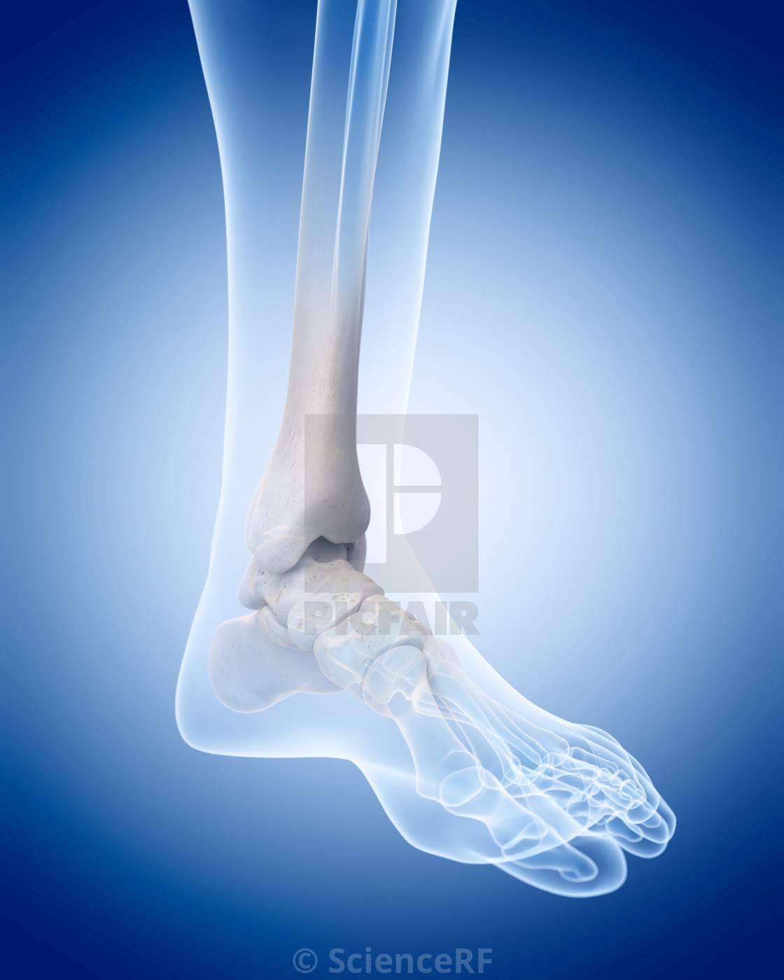 Human Ankle Bones License For 3900 On Picfair