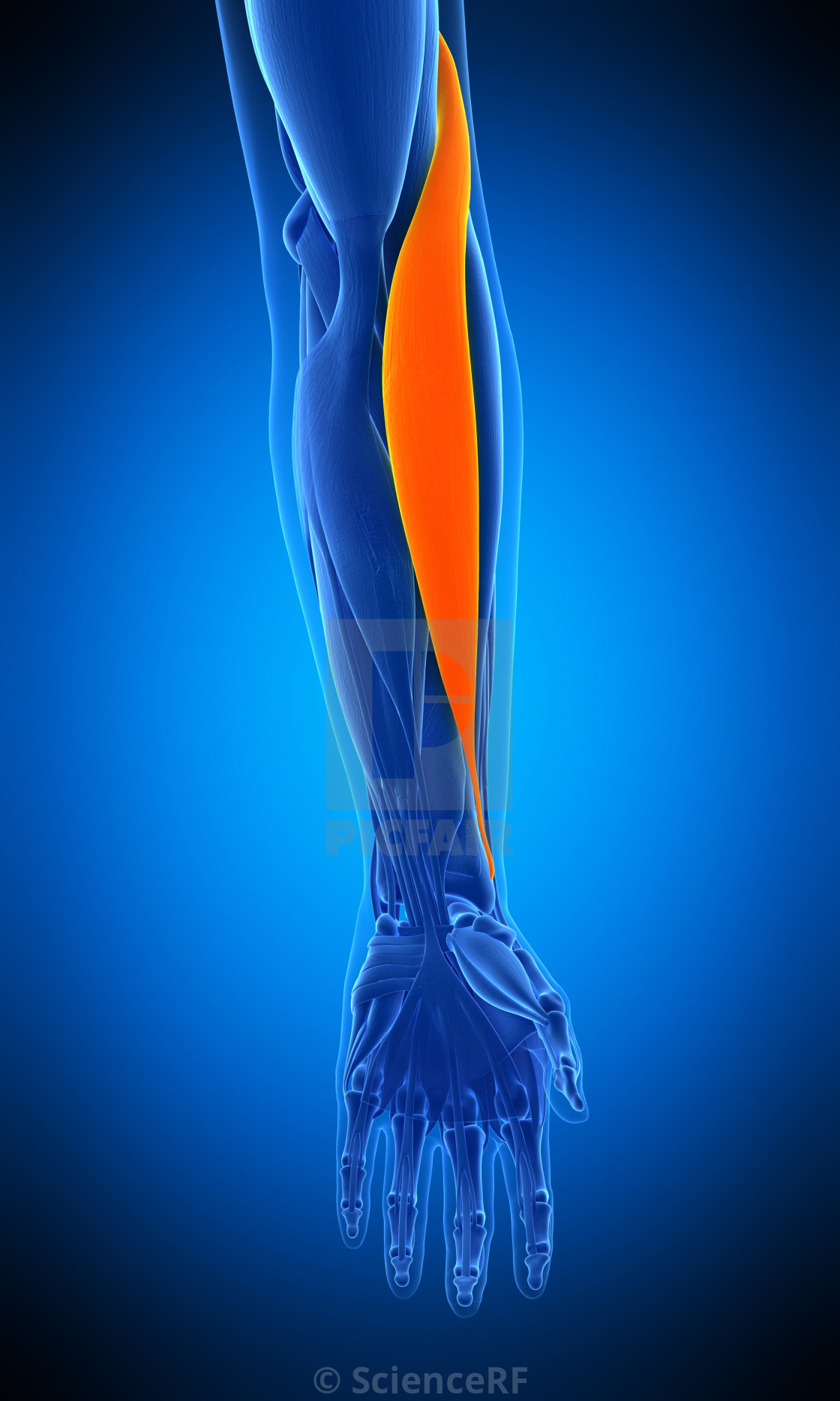 """Arm muscle, illustration"" stock image"