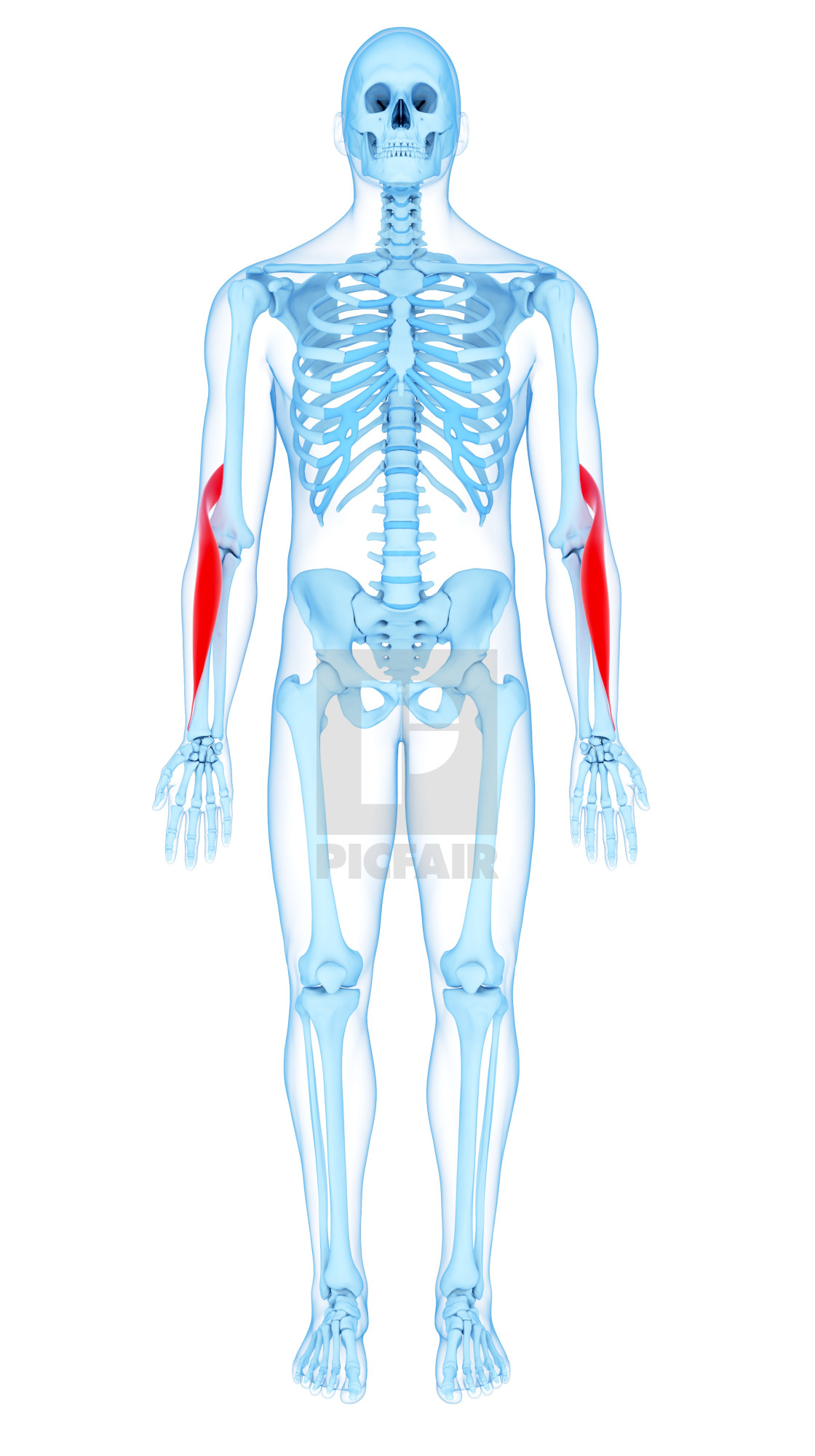 """""""Arm muscles, illustration"""" stock image"""