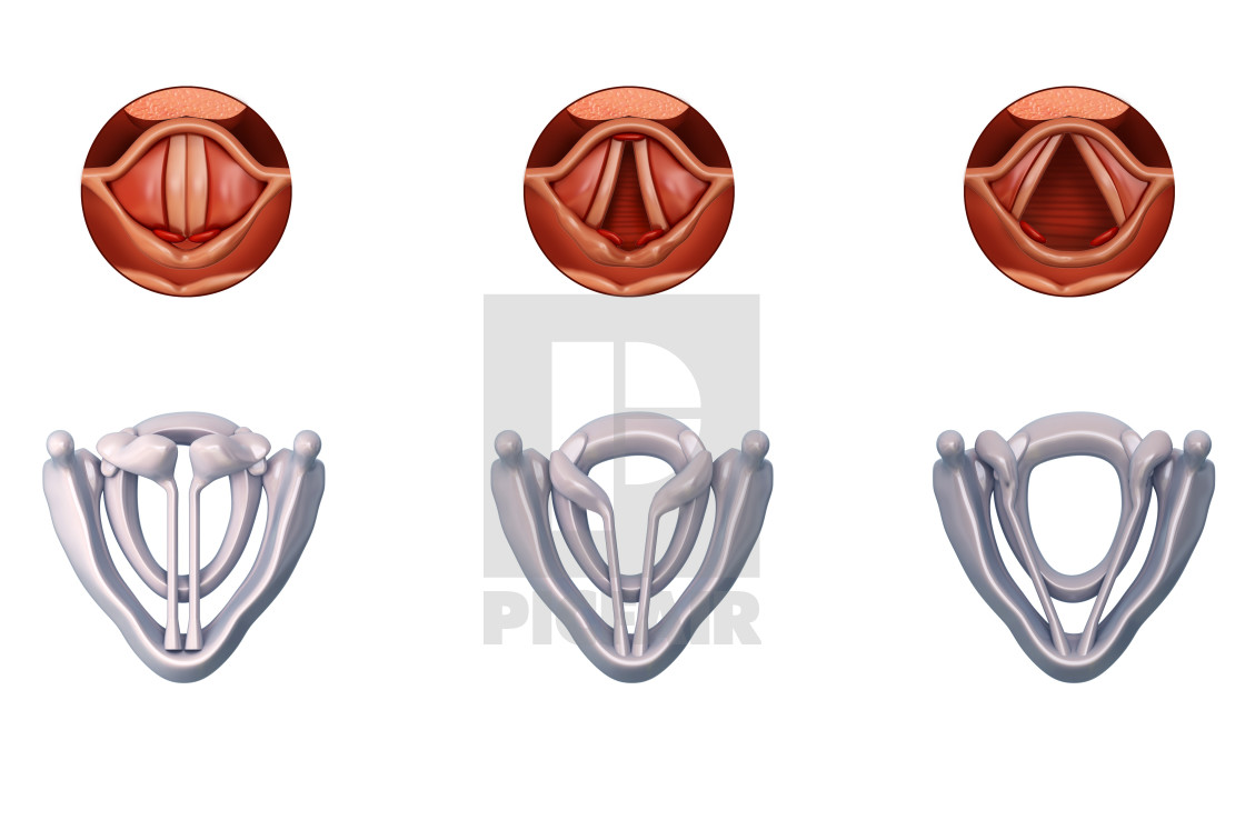 Vocal Cords Anatomy Illustration License For 3900 On Picfair