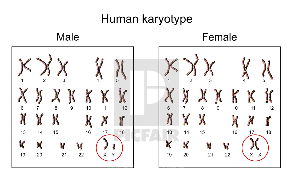 human karyotype sex chromosomes in Newmarket
