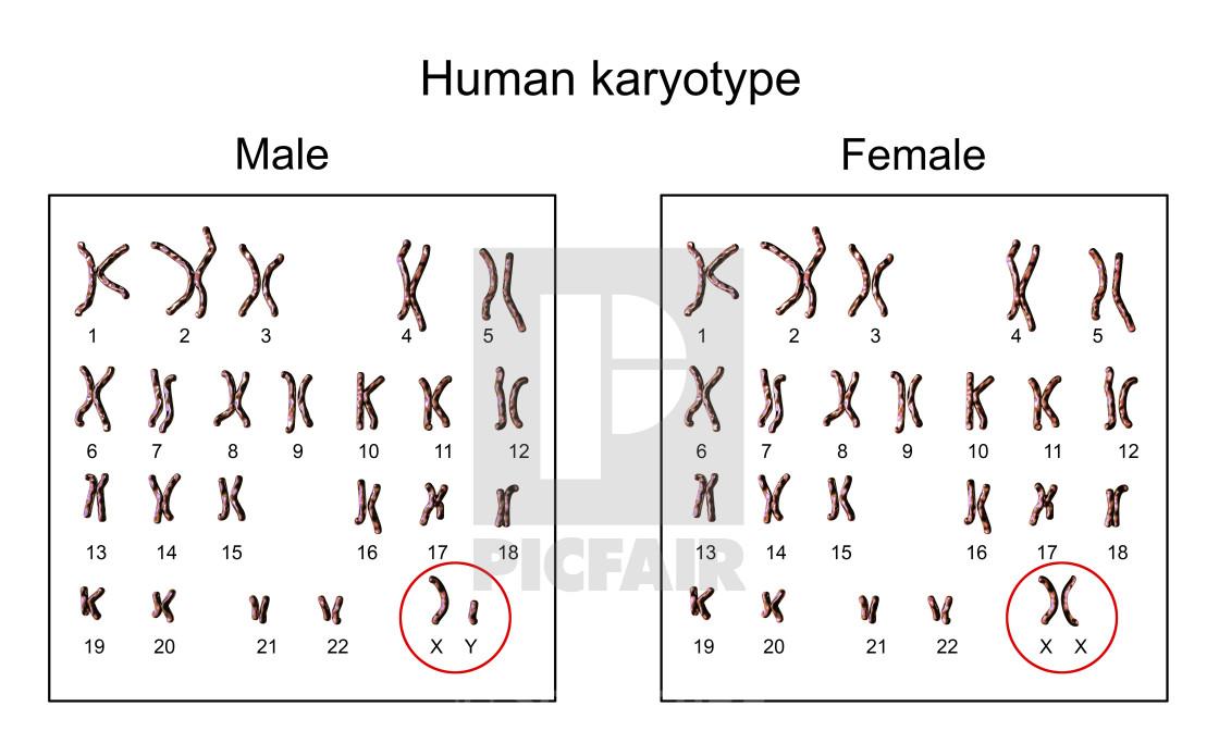Human Chromosomes Male Vs Female Karyotype Illustration License