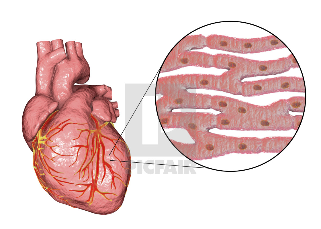 human heart and cardiac muscle illustration license for