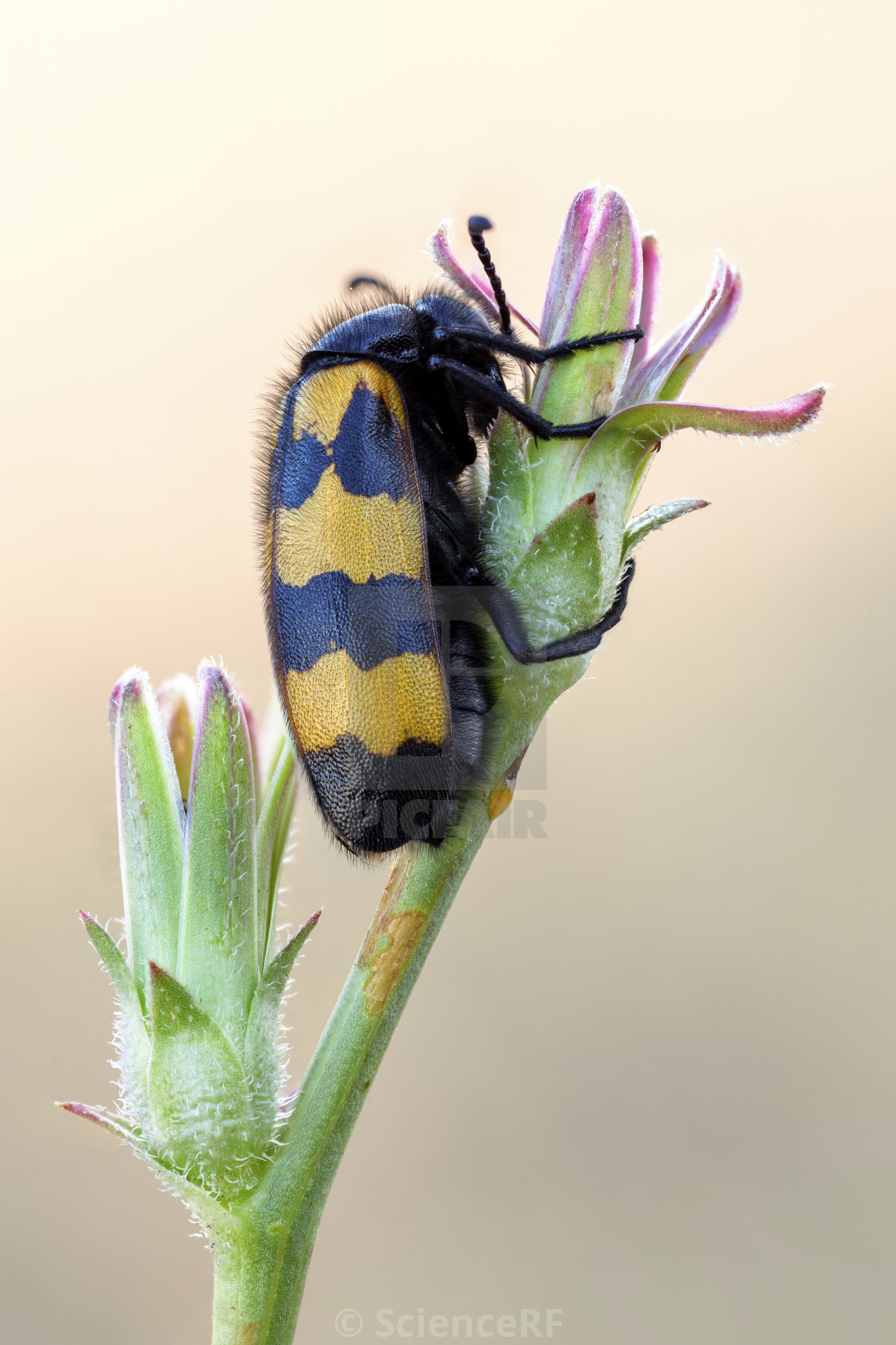 Blister beetle - License, download or print for £39 00