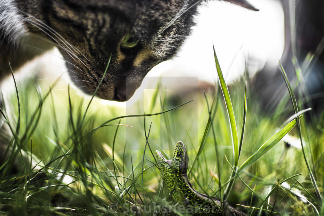 """Lizard vs Cat"" stock image"