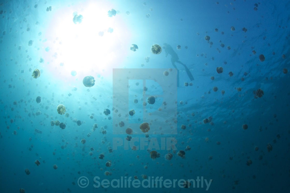 """free diver and Jelly fish"" stock image"
