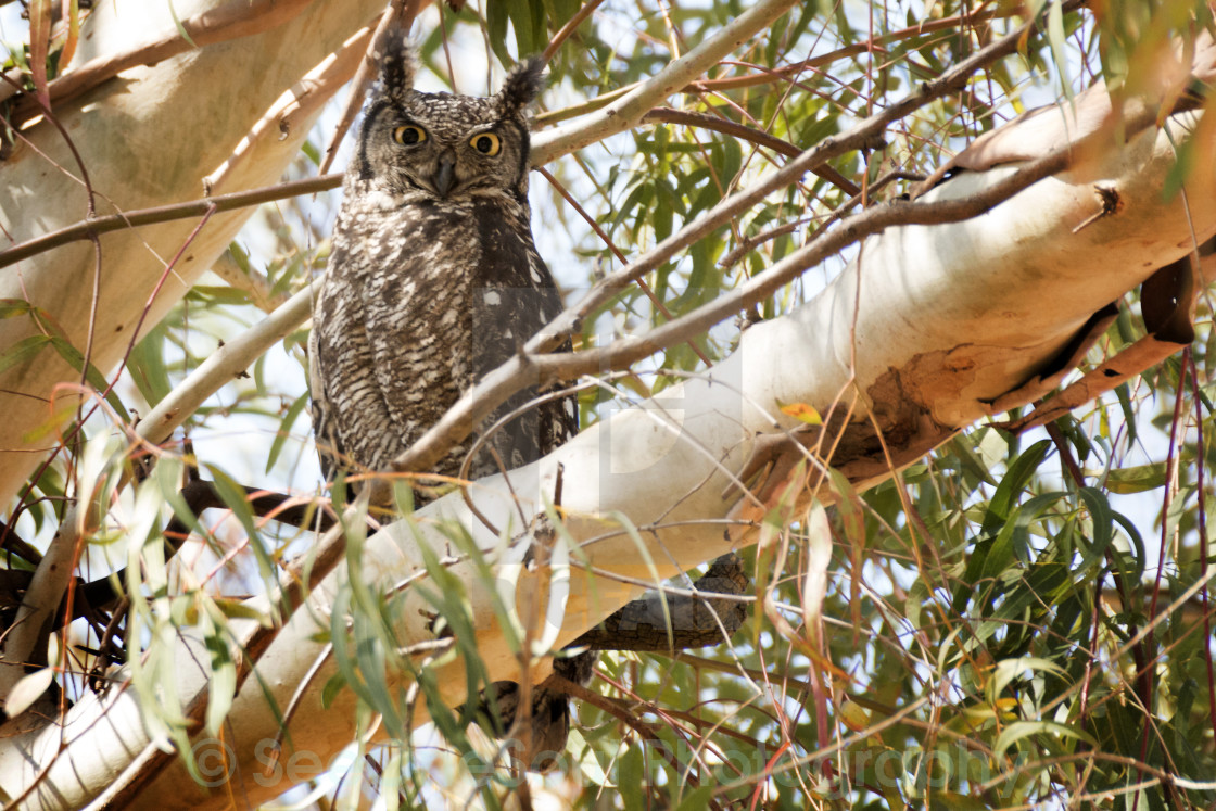 """Spotted Eagle Owl in Eucalyptus Tree"" stock image"