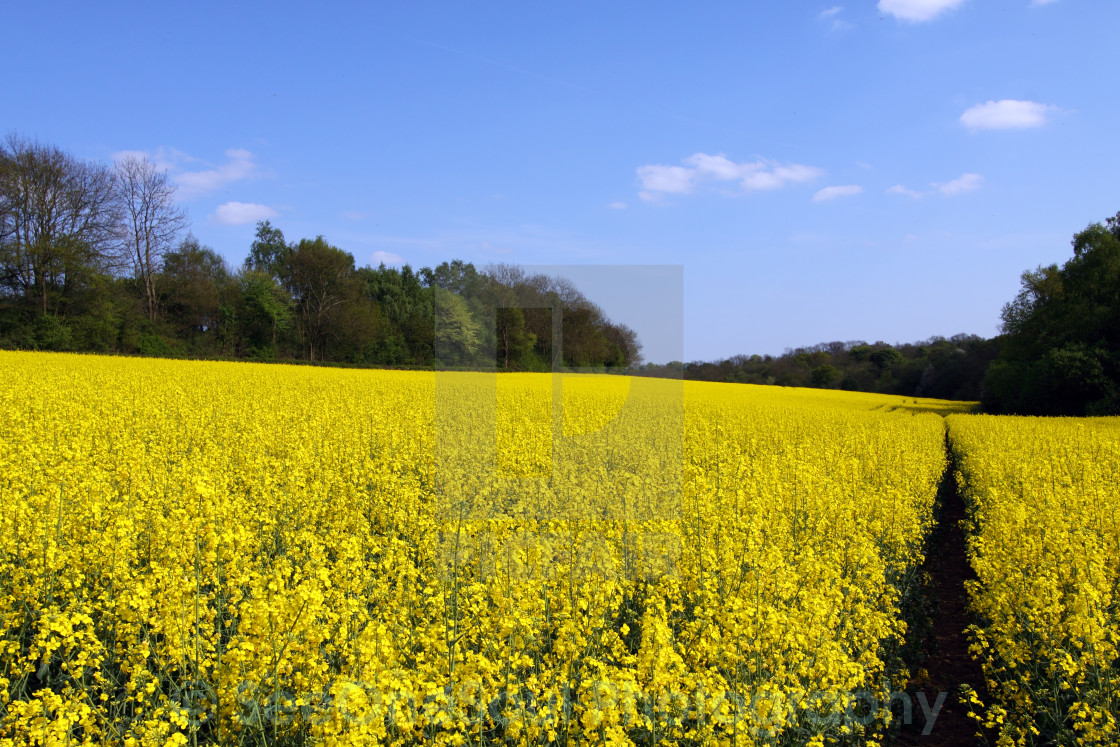 """""""Yellow Canola Fields in England"""" stock image"""