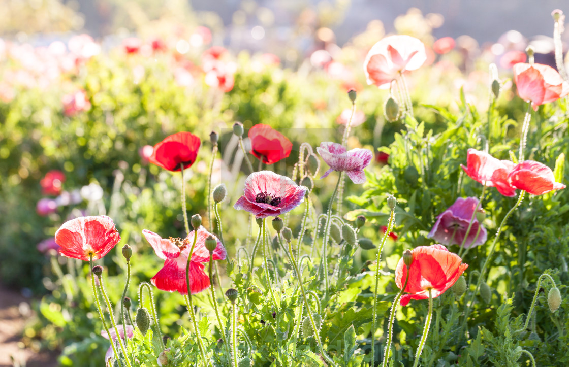 """""""Red poppy flowers in Chiengmai - North of Thailand."""" stock image"""