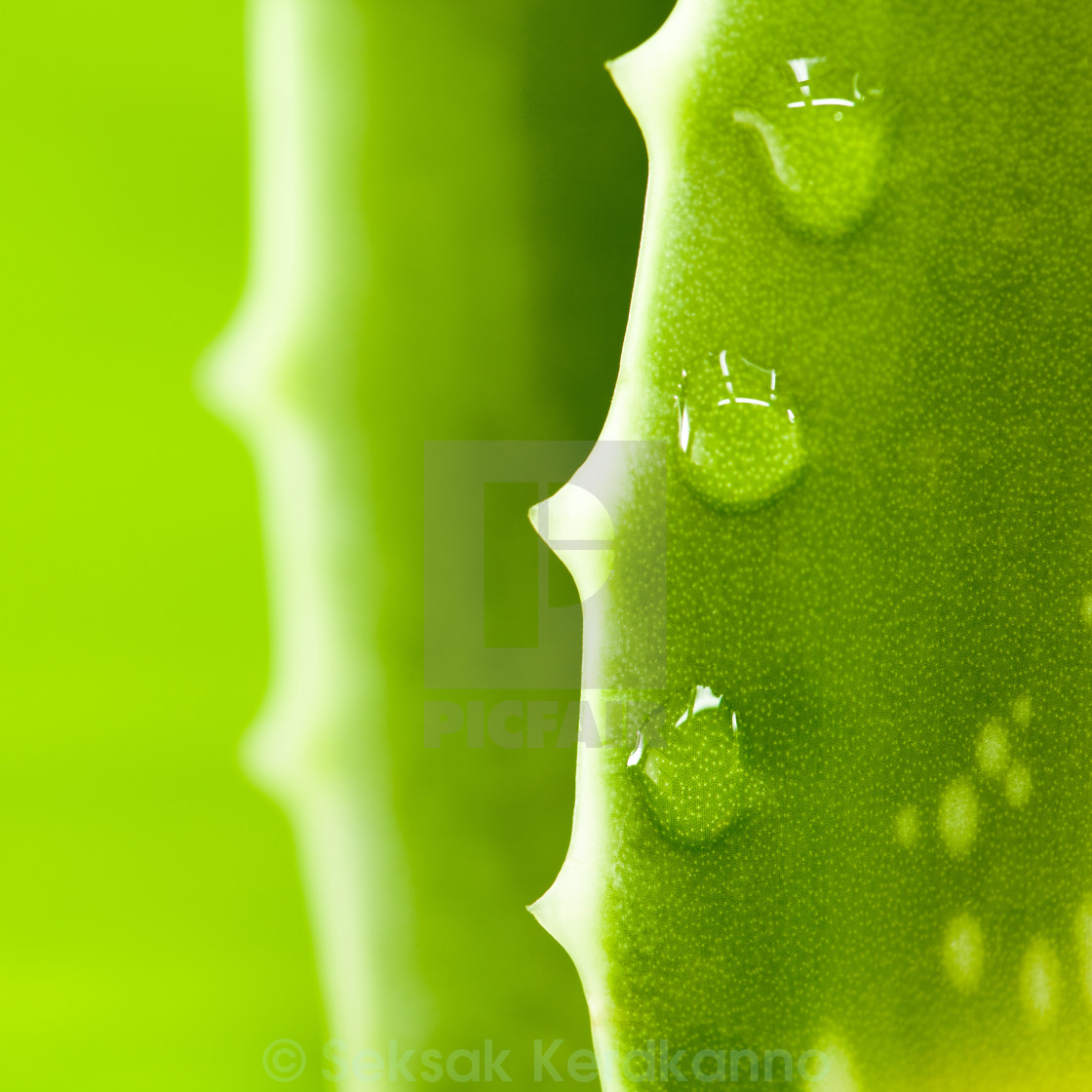"""""""Fresh aloe leaf with water drop ."""" stock image"""