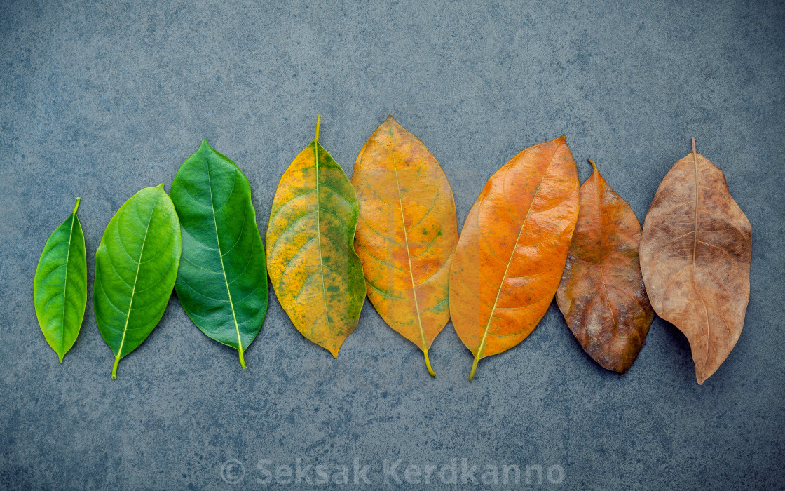 """Leaves of different age of jack fruit tree on dark stone background. Ageing ..."" stock image"