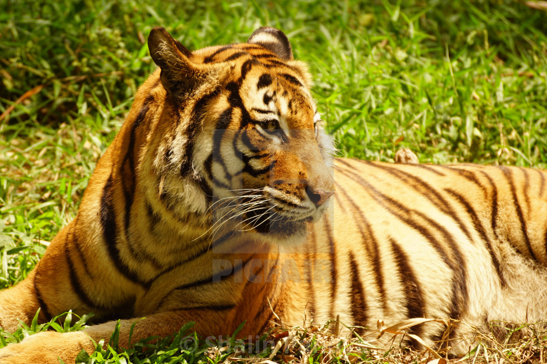 """Malayan Tiger"" stock image"