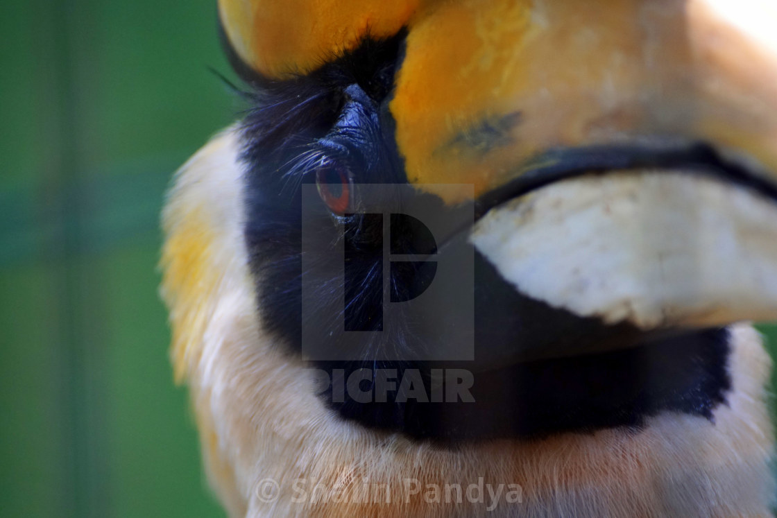 """Great Hornbill"" stock image"