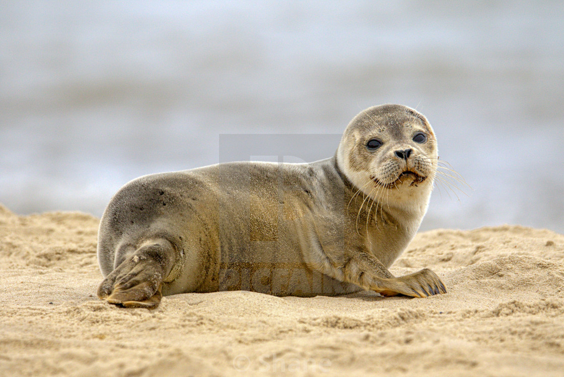 """Wild seal pup"" stock image"
