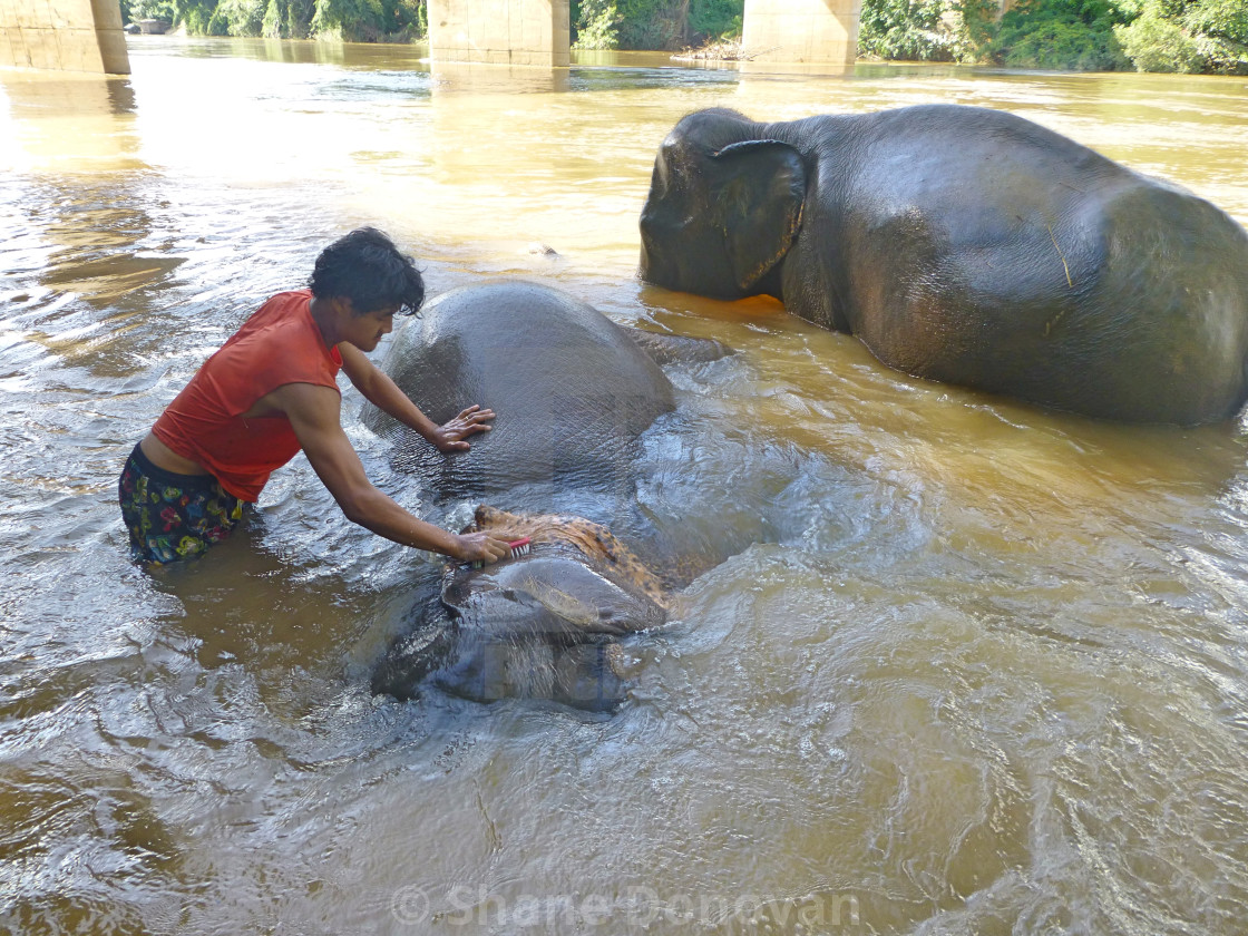 """Washing an Elephant"" stock image"