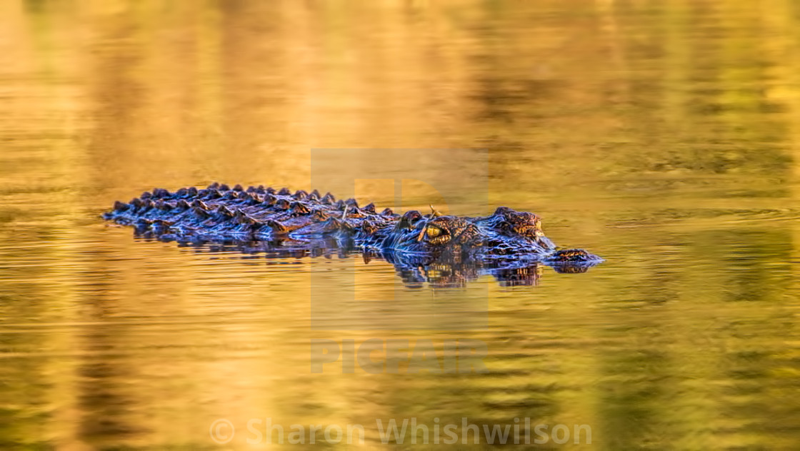 """Crocodile in the midst"" stock image"