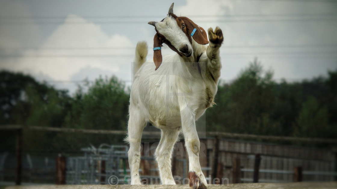 """Dancing Goat"" stock image"