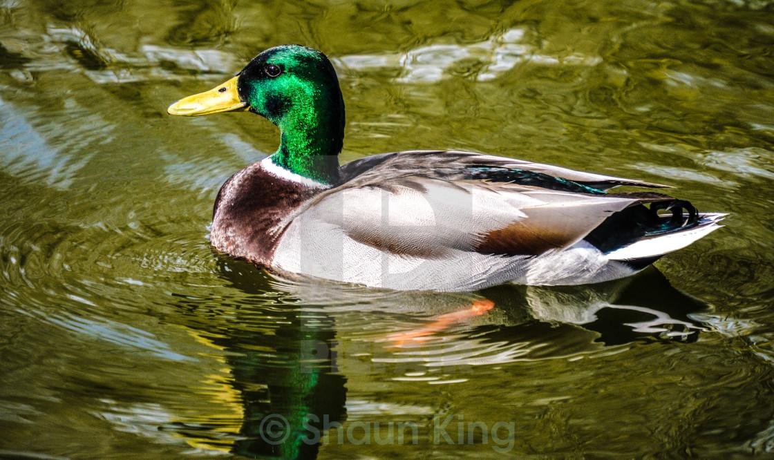 """If it quacks like a duck......"" stock image"
