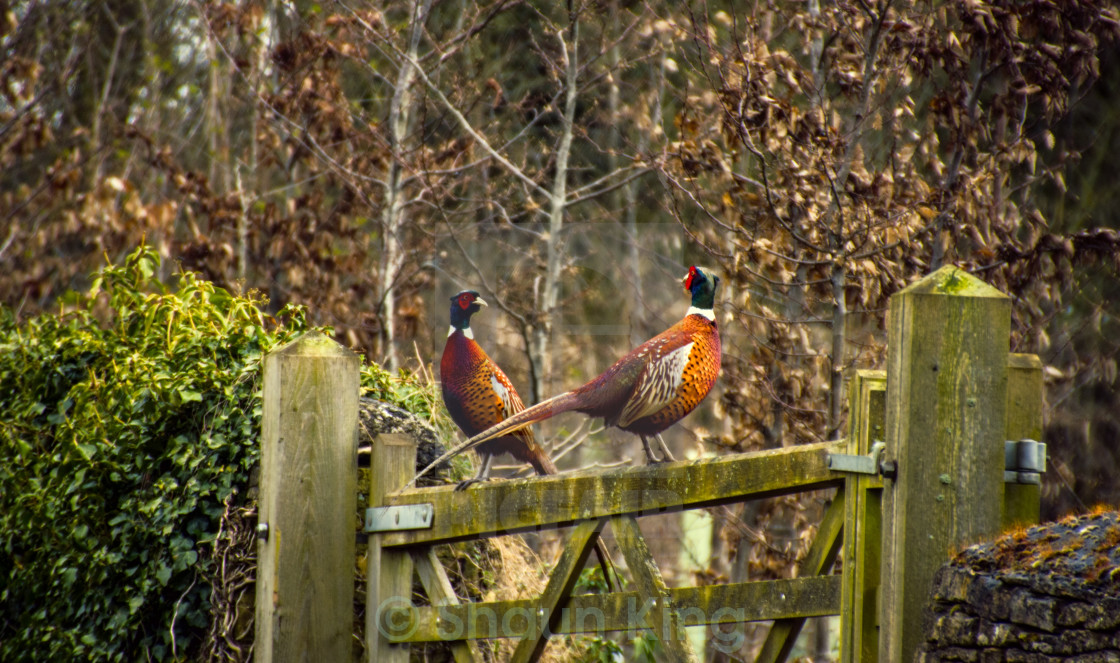 """Brace of Pheasants"" stock image"