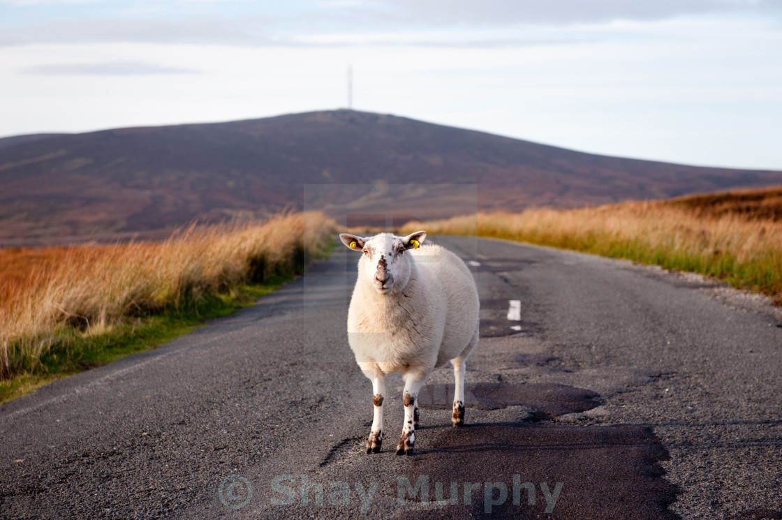 """Sheep in the road"" stock image"