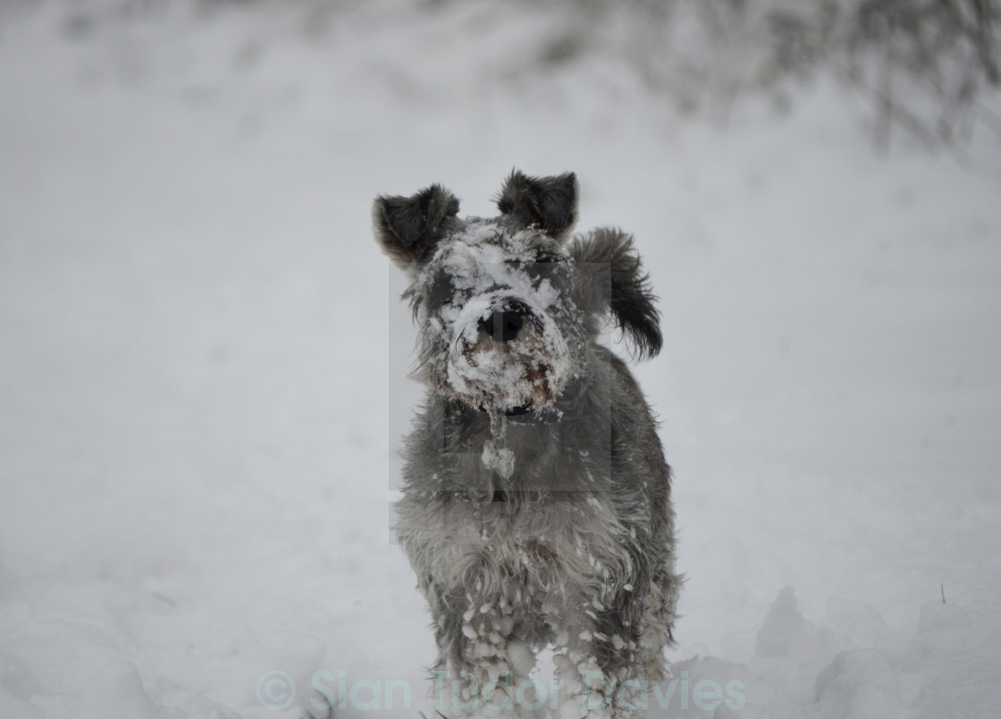 """Snow dog"" stock image"