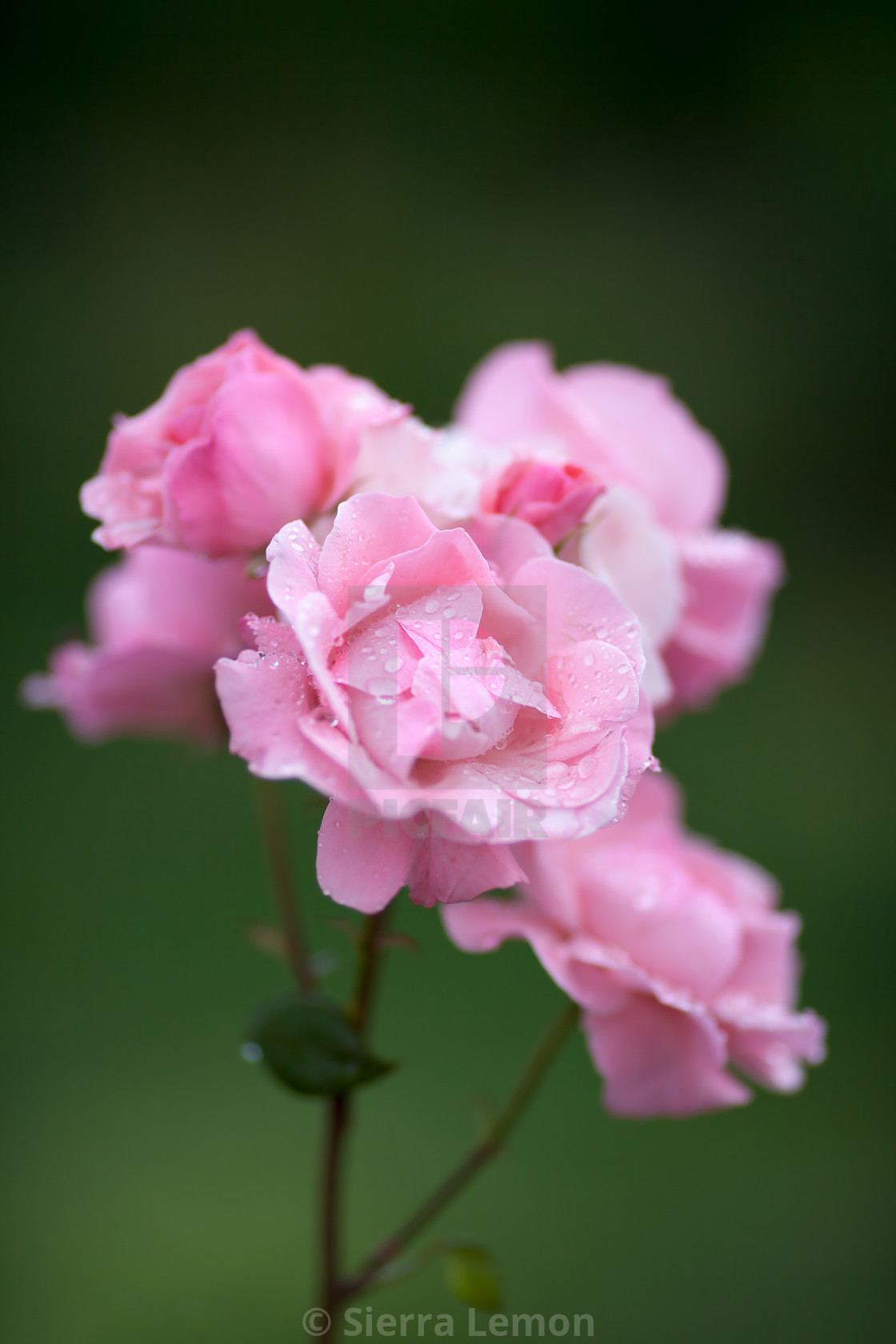 """Roses in Summer Rain"" stock image"
