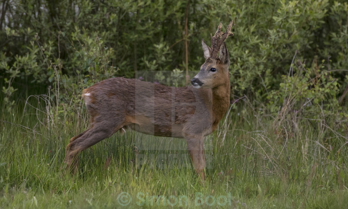 """Young Deer"" stock image"