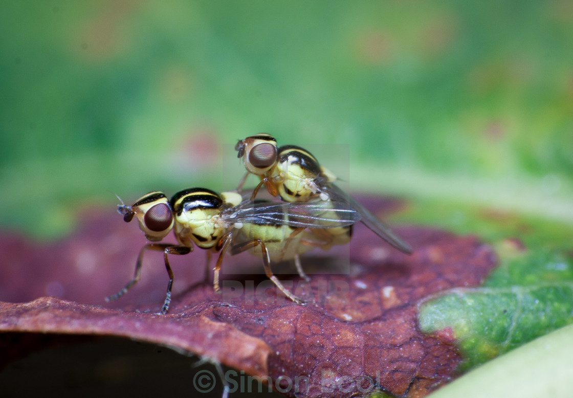 """Flies Mating"" stock image"