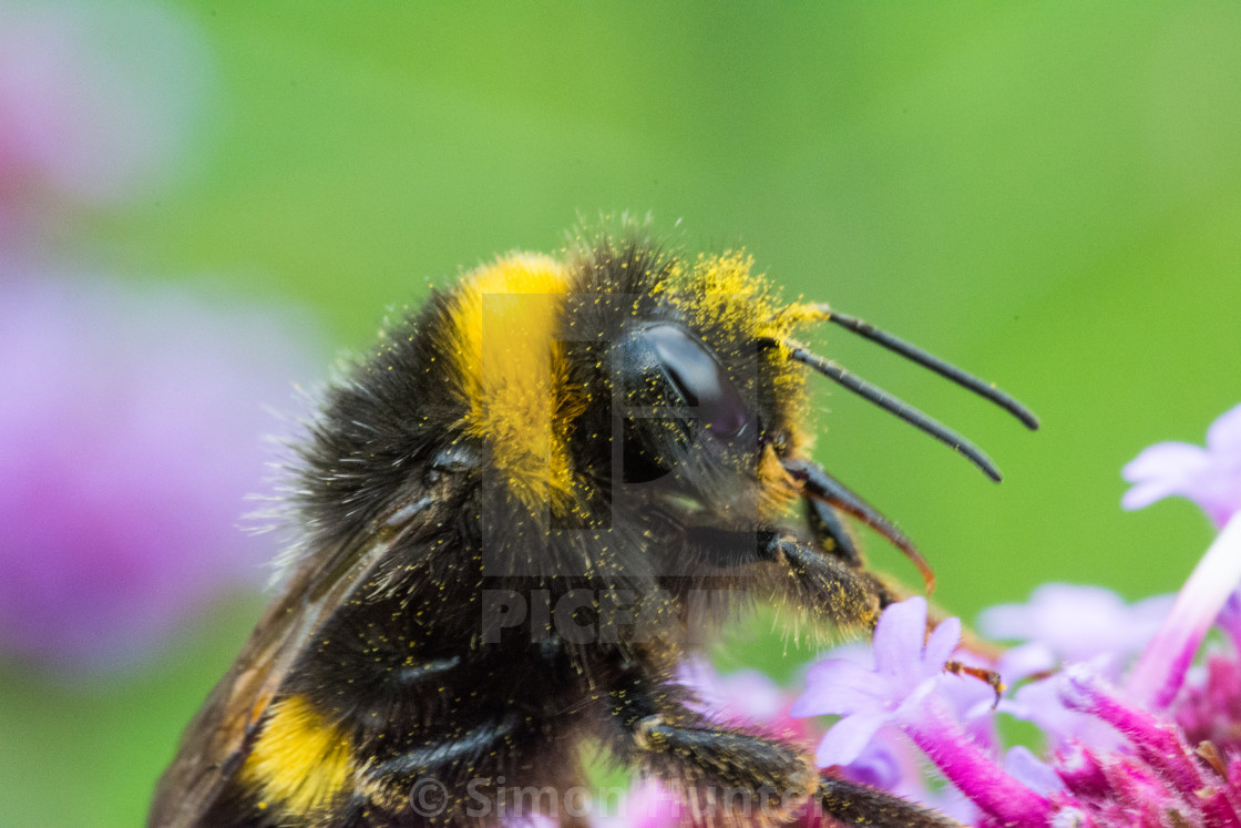 """Bee close-up"" stock image"