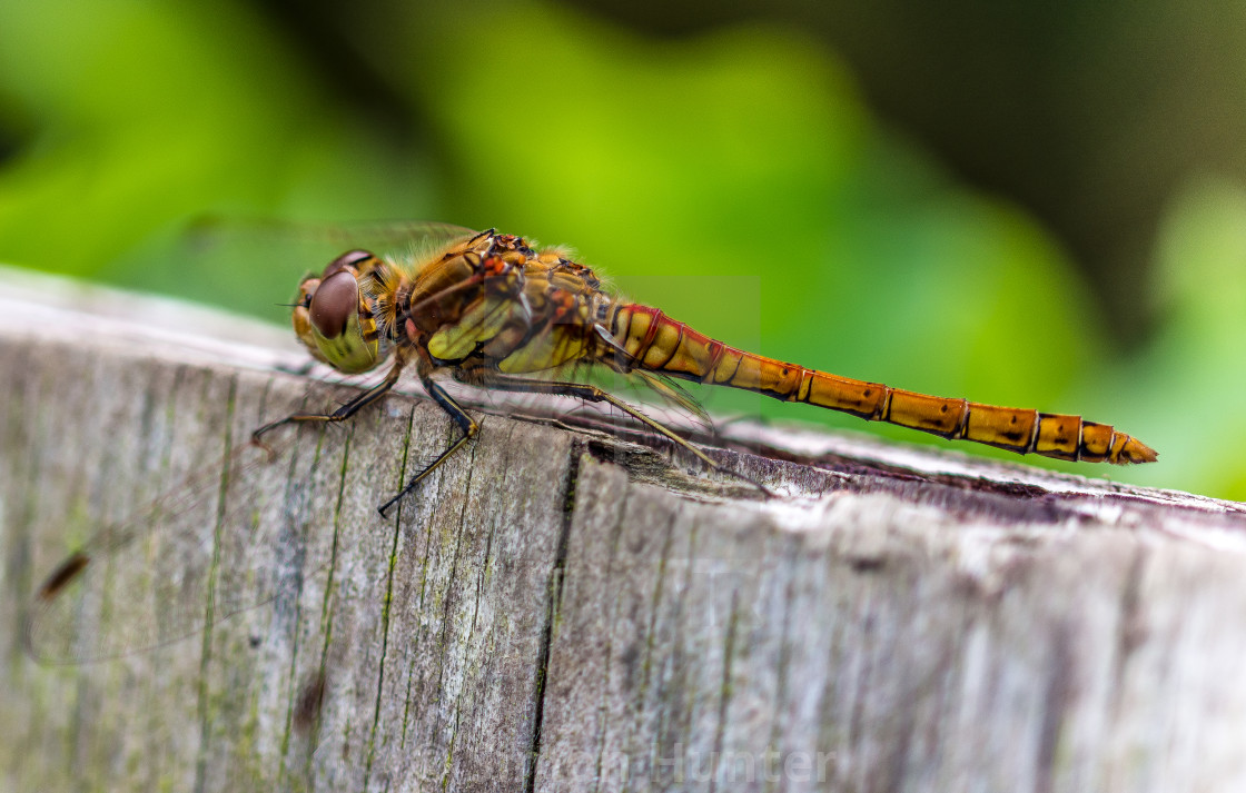 """""""Dragonfly resting"""" stock image"""